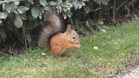 Czerwona wiewiórka nadgryza ziarna na trawie zbiory