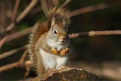czerwona wiewiórka Obraz Royalty Free