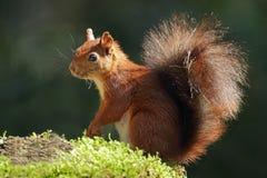 czerwona wiewiórka Fotografia Royalty Free
