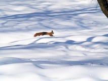 Czerwona wiewiórka Zdjęcia Stock