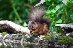 Czerwona wiewiórka Zdjęcie Stock