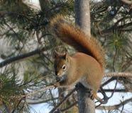 Czerwona wiewiórka 2 Zdjęcia Royalty Free