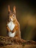 Czerwona wiewiórka dostaje wysokiego widok Zdjęcia Stock