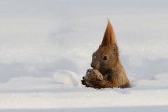 Czerwona wiewiórka je dokrętka śnieg fotografia royalty free