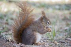 Czerwona wiewiórka (ślepuszonki czerwona wiewiórka) Zdjęcie Royalty Free