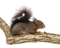 Czerwona wiewiórka lub Eurazjatycka czerwona wiewiórka, Sciurus vulgaris, pozycja obrazy royalty free