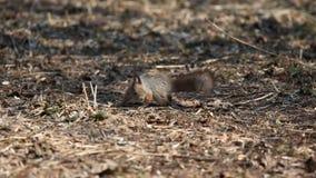 Czerwona wiewiórka lub Eurazjatyckie czerwonej wiewiórki /Sciurus vulgaris/rewizje dla jedzenia wśród suchych liści na groun zbiory wideo