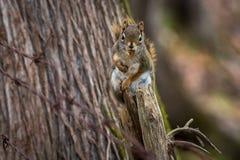 Czerwona wiewiórka na fencepost Fotografia Royalty Free