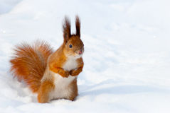Czerwona wiewiórka na śniegu