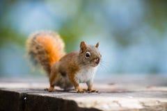 Czerwona wiewiórka na parkowej ławce Zdjęcia Royalty Free
