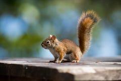 Czerwona wiewiórka na parkowej ławce Zdjęcie Royalty Free