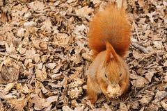 Czerwona wiewiórka na ziemi je orzecha włoskiego zdjęcia stock