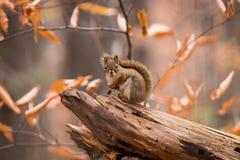 Czerwona wiewiórka otaczająca spadków colours Zdjęcia Royalty Free