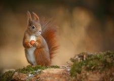 Czerwona wiewiórka patrzeje prawy zdjęcia stock