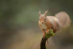 Czerwona wiewiórka patrzeje kamerę Fotografia Royalty Free