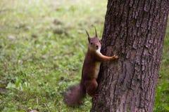 Czerwona wiewiórka patrzeje kamerę w drzewie Obrazy Royalty Free