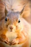 Czerwona wiewiórka patrzeje naprzód z kiciastymi ucho Obrazy Stock