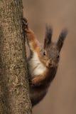 Czerwona wiewiórka patrzeje w dół Obraz Stock
