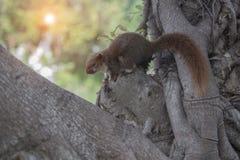 Czerwona wiewiórka przylega drzewo Obraz Royalty Free