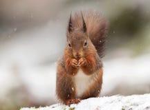 Czerwona wiewiórka (Sciurus Vulgaris) zdjęcia stock