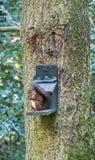 Czerwona wiewiórka, Sciurus vulgaris, przy ptasim dozownikiem obraz royalty free