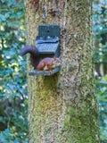 Czerwona wiewiórka, Sciurus vulgaris, przy ptasim dozownikiem obrazy royalty free