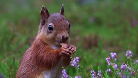 Czerwona wiewiórka, Sciurus vulgaris, zakończenie w górę jeść dokrętki wokoło purpur, kwiatonośny wrzos w cairngorms NP, Scotland zbiory wideo