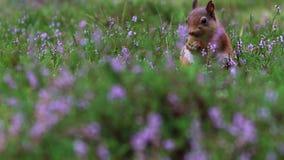 Czerwona wiewiórka, Sciurus vulgaris, zakończenie w górę jeść dokrętki wokoło purpur, kwiatonośny wrzos w cairngorms NP, Scotland zbiory