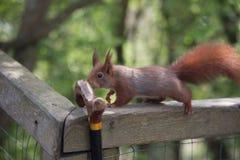 Czerwona wiewiórka sprawdza out chodzącego kij Obrazy Stock