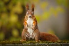 Czerwona wiewiórka, stojak i dostarcza! Obrazy Royalty Free
