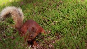 Czerwona wiewiórka szuka dla i je dokrętki na wrzos podłoga na pogodnym Lipu w cairngorm NP, Sciurus vulgaris, Scotland zdjęcie wideo