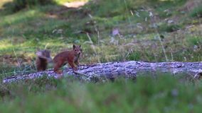 Czerwona wiewiórka szuka dla i je dokrętki na wrzos podłoga na pogodnym Lipu w cairngorm NP, Sciurus vulgaris, Scotland zbiory