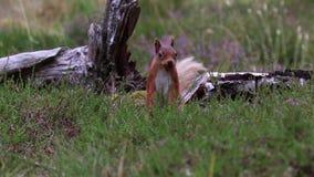 Czerwona wiewiórka szuka dla i je dokrętki na wrzos podłoga na pogodnym Lipu w cairngorm NP, Sciurus vulgaris, Scotland zbiory wideo