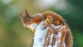 Czerwona wiewiórka umieszczająca na beli Zdjęcia Royalty Free