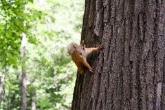 Czerwona wiewiórka utrzymuje pazury drzewny bagażnik Zdjęcie Stock