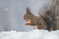 Czerwona wiewiórka w śnieżnej burzy Fotografia Royalty Free