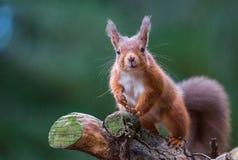 Czerwona wiewiórka w Angielskim lesie Fotografia Royalty Free