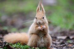 Czerwona wiewiórka w lesie Fotografia Stock