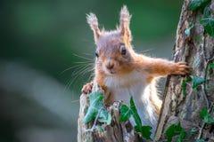 Czerwona wiewiórka w lesie Obraz Royalty Free