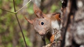 Czerwona wiewiórka w lesie, co do, bacznym obrazy royalty free