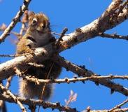 Czerwona wiewiórka W Modrzewiowym drzewie Obrazy Stock