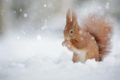 Czerwona wiewiórka w spada śniegu Fotografia Royalty Free