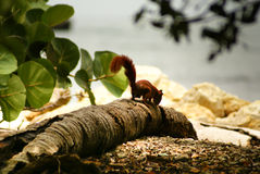 Czerwona wiewiórka w wyspie Mucura, Kolumbia Obraz Stock