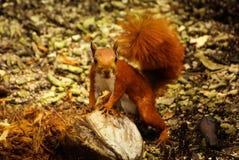 Czerwona wiewiórka w wyspie Mucura, Kolumbia Obraz Royalty Free