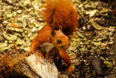 Czerwona wiewiórka w wyspie Mucura, Kolumbia Fotografia Stock