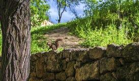 Czerwona wiewiórka wokoło wstawać na drzewie zdjęcie royalty free