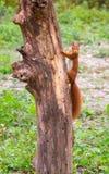 Czerwona wiewiórka wspina się drzewa Zdjęcie Royalty Free