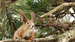 Czerwona wiewiórka z długimi ucho na sośnie obraz stock