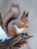 Czerwona wiewiórka z dokrętką Zdjęcia Royalty Free