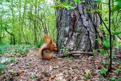 Czerwona wiewiórka z dokrętką w lesie Fotografia Stock